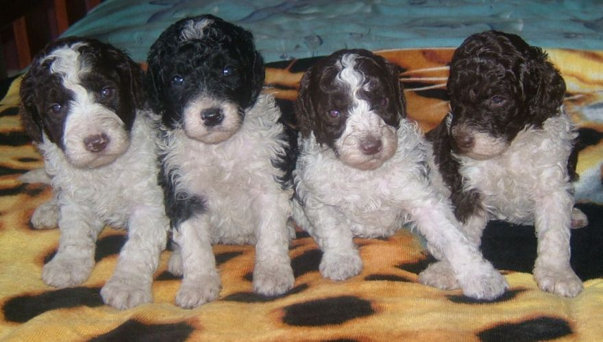 Four cute parti labradoodle puppies sitting on a bed