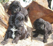 Black Labradoodle Puppies