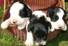 Parti Labradoodle Puppies