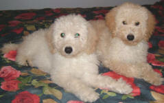 White or Cream Labradoodle Puppies