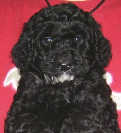 Labradoodle Puppies on Valley View Dogs Australian Black Labradoodle Puppies   Dogs