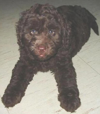 Labradoodle Puppies on Valley View Dogs Chocolate Labradoodle Puppies Picture   Dogs