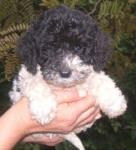 Parti Labradoodle Puppy, Black and White