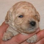 White or Cream Labradoodle Puppy