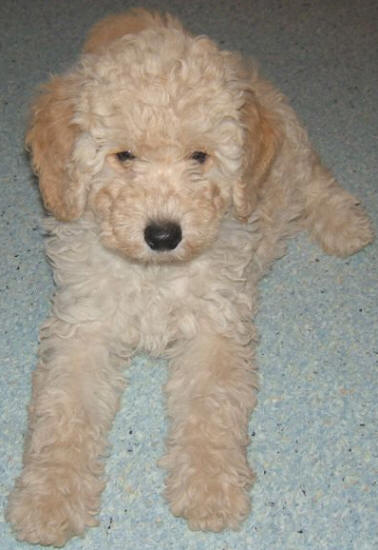 Pictures Of Labradoodle Puppies