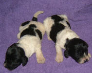 Parti Labradoodle Puppies, Black and White