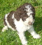 Parti Labradoodle Puppies, Chocolate and White