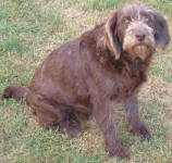 Cadbury - Medium Chocolate Labradoodle