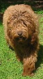Labradoodle Lilly