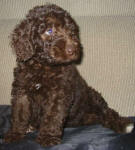 Aliza - Miniature Chocolate Labradoodle