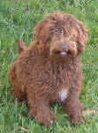 Mishka - Miniature Chocolate Labradoodle