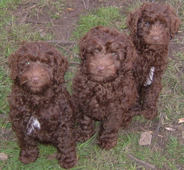 Three cute labradoodle puppies sitting together