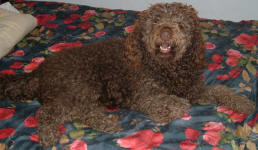 Cougar - Medium Chocolate Labradoodle
