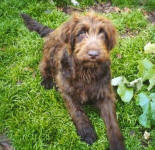 Leigha - Medium Chocolate Labradoodle
