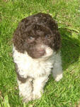 Cisco - Miniature Parti Labradoodle