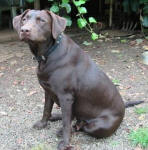 Cobra - Chocolate Labrador