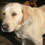 Goldie - Yellow Labrador