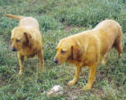 Yellow Labradors Rusty and Crusty