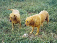 Rusty and Crusty - Yellow Labradors