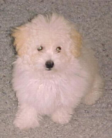 Pin Schnoodles-for-sale-image-search-results on Pinterest