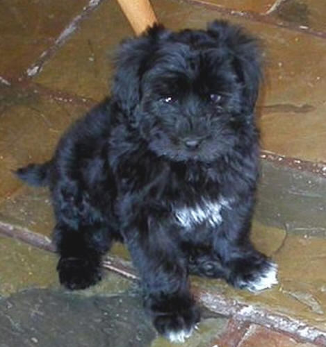 Pictures of Maltese-Poodle Puppies Black Maltese Poodle Puppies