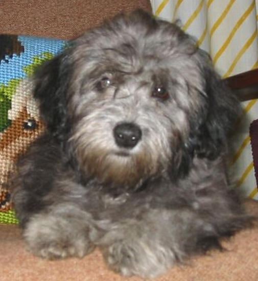 Pictures of Maltese-Poodle Puppies
