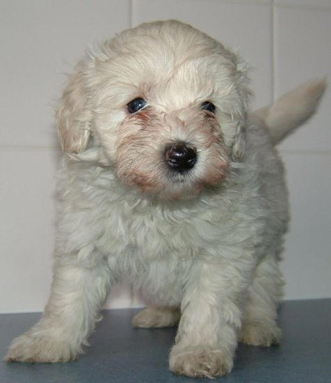 Small Dog Breeders Raleigh Nc