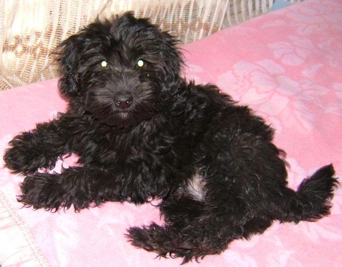 Black Maltese Poodle   www.pixshark.com - Images Galleries ... Black Maltese Poodle Puppies