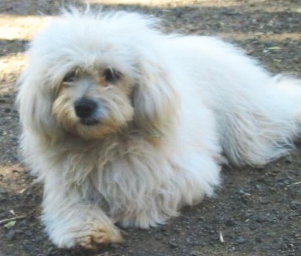 Valley View Maltese-Poodle Breeders - Maltese-Poodle Information