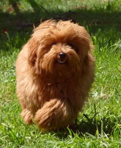 Red maltese poodle happily running in the sun