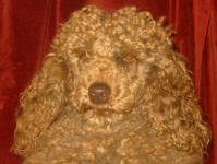 Murray - Cafe Miniature Poodle