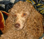 Cafe Miniature Poodle - Murray