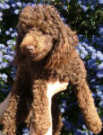 Monty - Chocolate Miniature Poodle