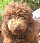 Chocolate Miniature Poodle - Monty