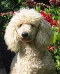 Elmo - White Miniature Poodle