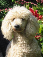 White Miniature Poodle - Elmo