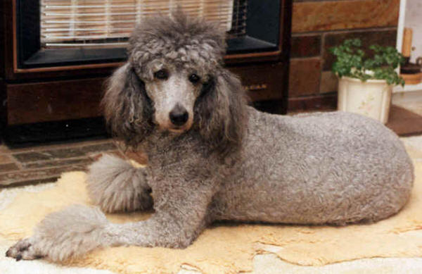 standard poodle haircuts - group picture, image by tag