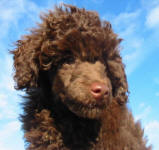 Randy - Chocolate Toy Poodle