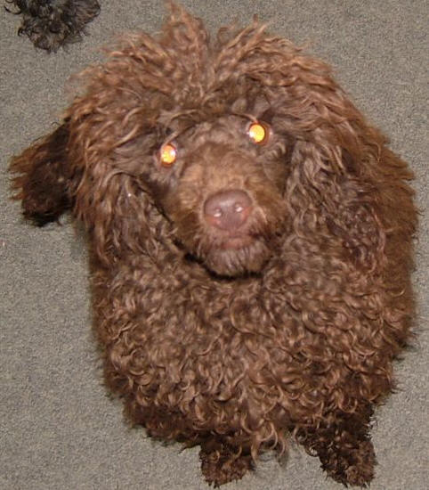 Valley View Dog Breeders - Poodle Pictures
