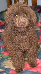 Chocolate Toy Poodle - Randy