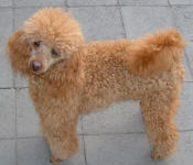 Bronson - Red Toy Poodle
