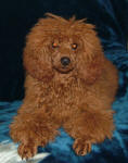 Rusty - Red Toy Poodle