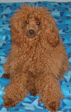 Red Toy Poodle - Rusty