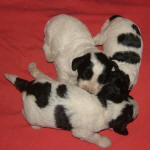 Parti Schnoodle Puppies, Black and White