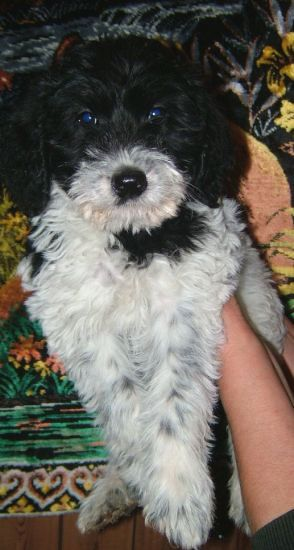 Pictures Of Schnoodle Puppies