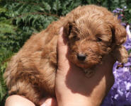 Red Schnoodle Puppies