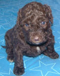 Chocolate Schnoodle Puppies