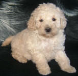 White and Cream Schnoodle Puppies