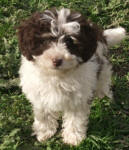 Parti Schnoodle Puppies, Chocolate and White