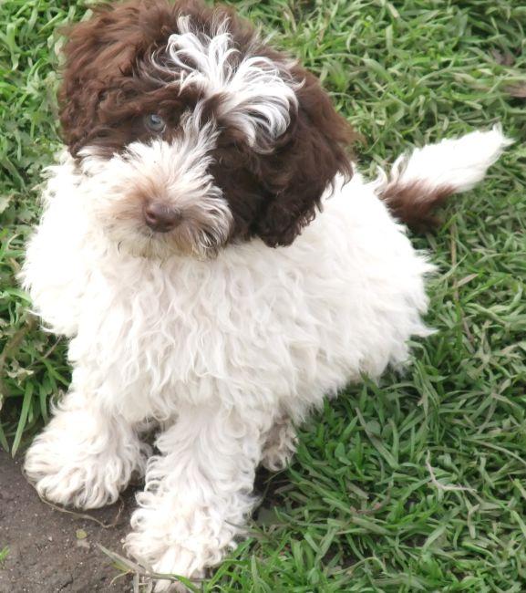Teddy Bear Schnoodle Puppies Image Search Results | Dog Breeds Picture